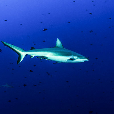 Discover Sharks and see them in the deep blue